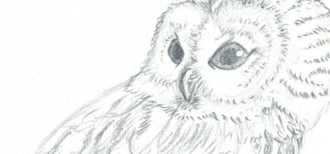 Tierische Bleistiftzeichnungen – Waldkauz